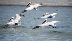 red-boat-tours-sightseeing-dolphins-tours-water-cruises-family-st.augustine-florida-4-pelicans-