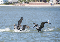red-boat-tours-sightseeing-dolphins-tours-water-cruises-family-st.augustine-florida-pelicans-after-fish